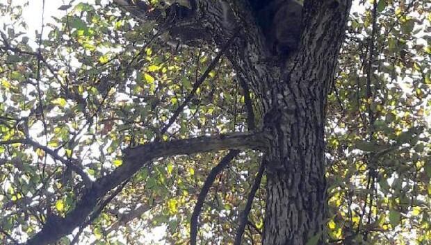 Şavşatta ağaçta mahsur kalan yavru ayılar kurtarıldı
