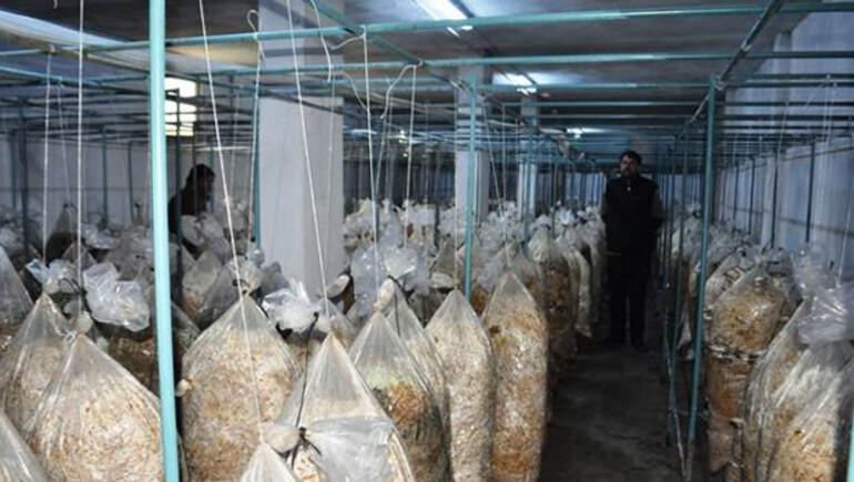 Tavuk çiftliğinde mantar üretimine başladılar, şimdi talebe yetişemiyorlar