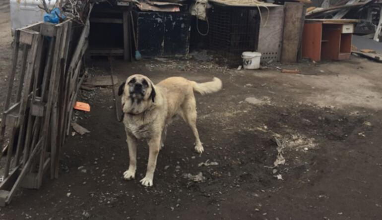 Köpeğe işkence yapan sürücü bulundu, köpek kurtarıldı