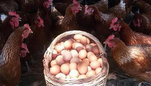 Özgür tavukların doğal yumurtası