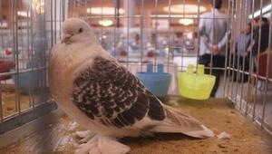 Şebap Güvercin Festivali ilgi gördü