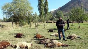 Kurtlar 40 koyunu telef etti