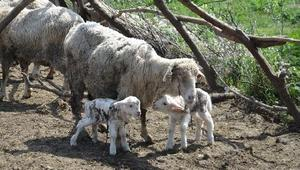 Koyunları kırpma zamanı