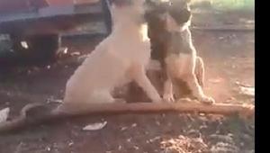 Diyarbakırda çoban köpeklerini dövüştürüp görüntüleri paylaştılar