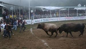 Kafkasörde Dimitri adlı boğa Türkiye şampiyonu oldu