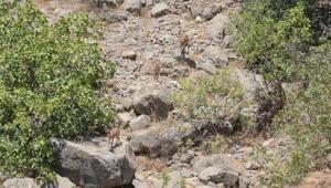 Çukurcada dağ keçileri, köye indi