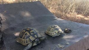 Çanakkale'deki ot yangınında kaplumbağalar telef oldu