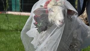 Koç ile koyun için sembolik düğün yaptı, temsili nikah şahidi Pascal Nouma oldu/ Ek fotoğraflar