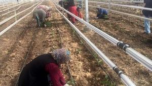 Suriyelilere yönelik seracılık kursu açıldı