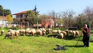 Yalova'da genç çiftçilere koyun dağıtımı