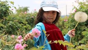 Ispartada 8 bin ton gül çiçeği rekoltesi bekleniyor