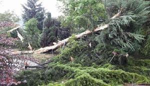 Orduda sedir ağacına yıldırım düştü