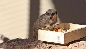 Afrikaya özgü mirketler, Antalyadaki hayvanat bahçesine getirildi