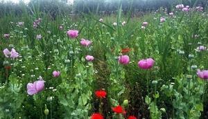 Tekirdağda 530 kök haş bitkisi ele geçirildi
