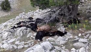Ispartada yıldırım düştü: 31 keçi telef oldu