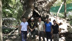 Muğladaki anıt ağaçlara rehabilitasyon