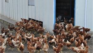 Ordu'da organik yumurta üretimi artacak