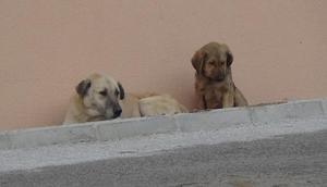 Gümüşhanede başıboş köpekler korkutuyor