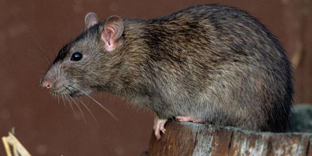 O şehri fareler bastı