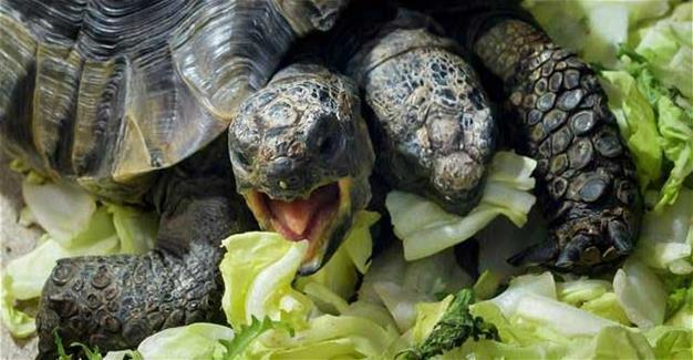 Two-headed tortoise celebrates 20 years