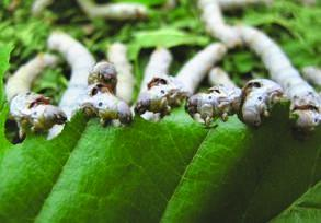 Silkworms In The Dining Room