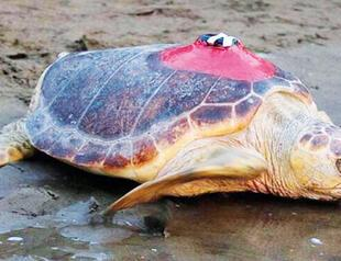 Baby Turtles Latest News Top Stories All News Analysis About Baby Turtles