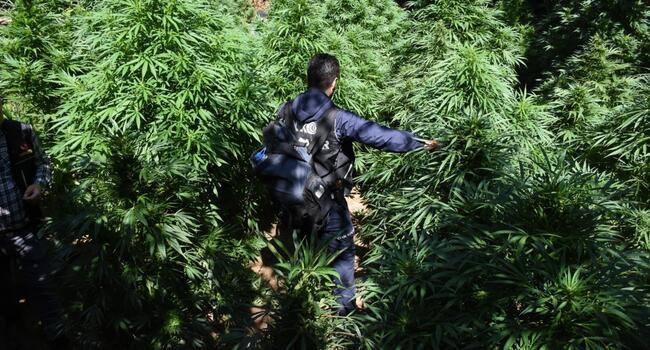 Massive cannabis plantation found at UNESCO World Heritage site in southeast Turkey