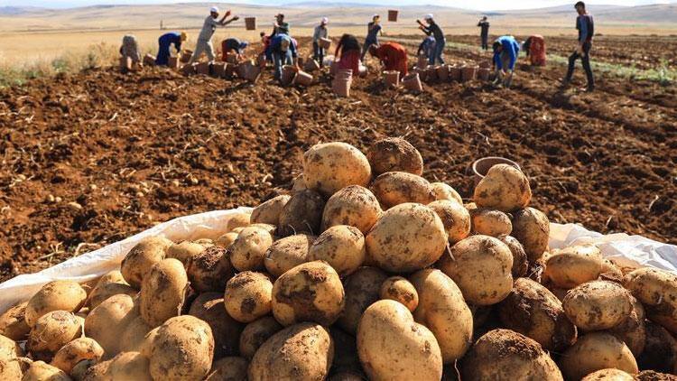 Kuraklığa karşı patates geliştirildi
