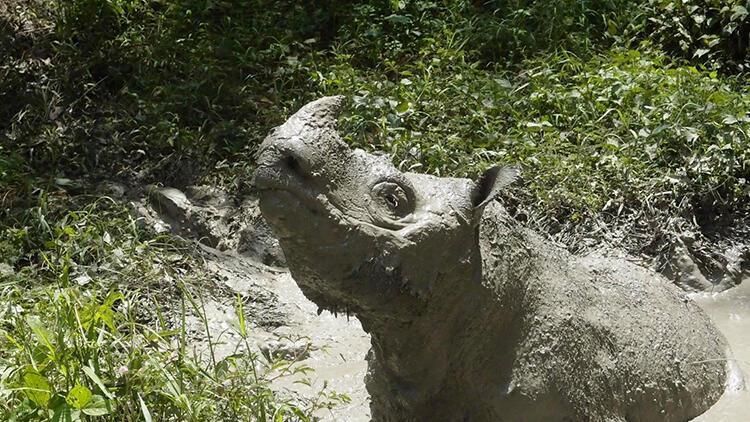 Malezya'nın son erkek Sumatra gergedanı öldü