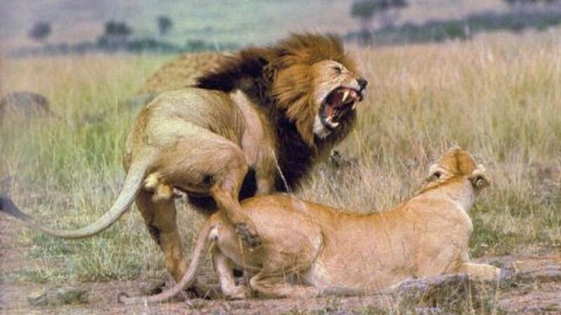 lion porn com