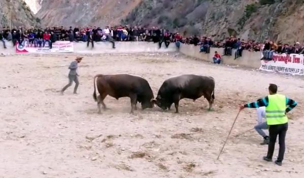 Erzurum'da boğa güreşi izlerken öldü