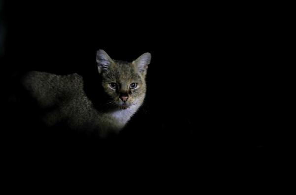 5 gün boyunca kamp kurdu, saz kedisinin her anını görüntüledi! 'Çığlık atmamak için kendimi zor tuttum'
