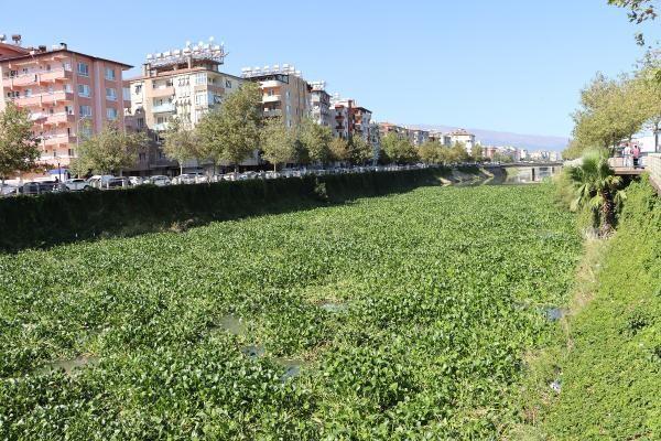 Asi Nehri'ni su sümbülleri kapladı