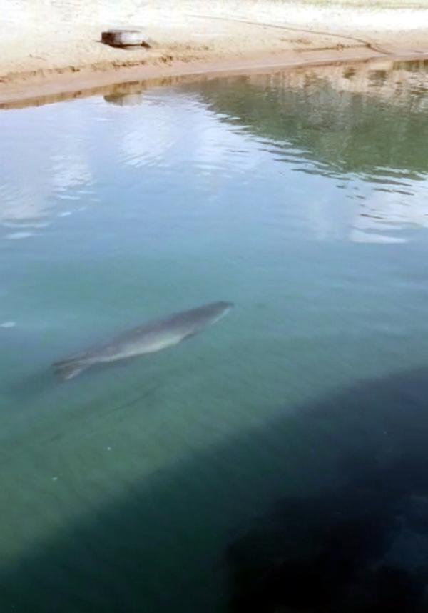 606d8a794e3fe10850fa8248 - Antalya'da görülen Akdeniz foku şaşkınlık yarattı