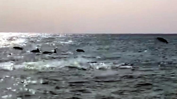 Son dakika haberler: Mersin'de kıyıda yüzen yunuslar ilgi odağı oldu
